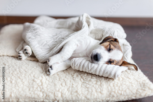 Poster Chien Sleeping puppy on dog bed