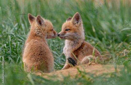 Staande foto Ree Red Fox