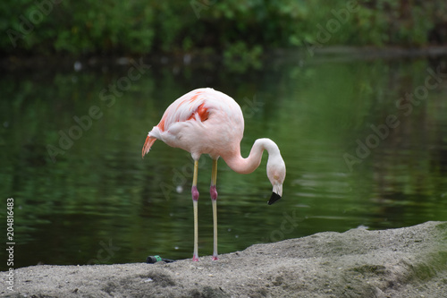 Tuinposter Flamingo Beautiful Pink Chilean Flamingo in a Pond