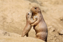 Black-tailed Prairie Dog Mothe...