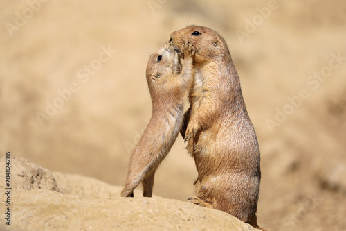 Fotomural Black-tailed prairie dog mother with child