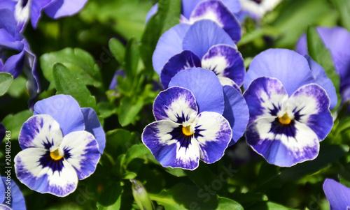 Staande foto Pansies Close-up of pansies