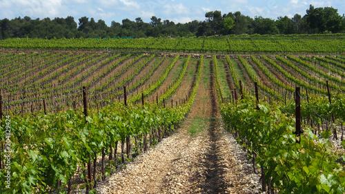 Fotografia  Weinanbau in der Provence