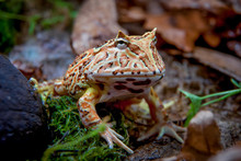 The Fantasy Horned Frog
