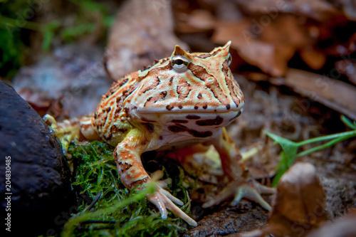 Tuinposter Kikker The Fantasy horned frog