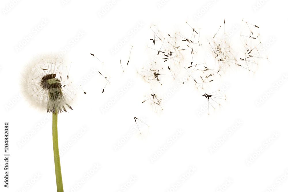 Fototapety, obrazy: Old dandelion isolated on white background closeup