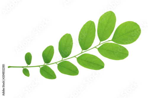 Green leaf of acacia tree isolated on white background Wallpaper Mural