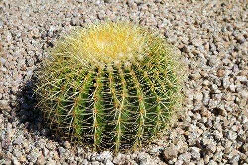 Keuken foto achterwand Cactus Echinocactus or Ferocactus Golden Barrel cactus in desert style xeriscaping in Arizona