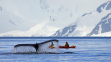 Humpback Whale Tail With Kayak...