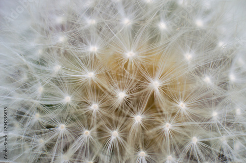 Fotografie, Obraz  A macro view of the symmetrical pattern of fluffy white seeds on a dandelion