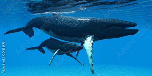 Fototapeta premium Matka i dziecko humbaki - cielę humbaka ukrywa się pod brzuchem matki, aby chronić się w dużym środowisku oceanicznym.