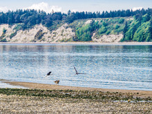 Great Blue Heron And Dogs On The Beach