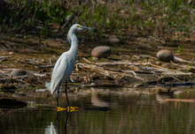 A Snowy Egret At Lake Shore Line