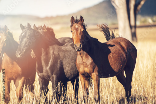 Australian horses in the paddock during the day