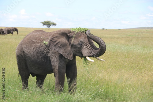 Fotobehang Olifant young African elephant bull eats and plays with leaves. Rain season, Serengeti, Tanzania