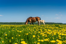 Horse And Foal Graze On The Fi...