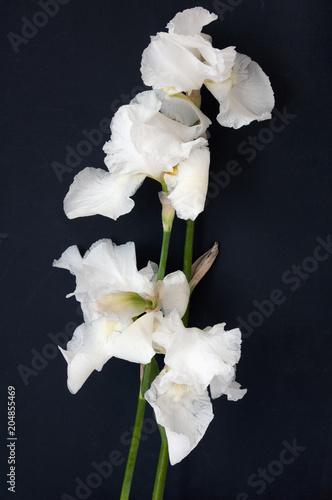 Foto op Canvas Iris Iris flowers isolated