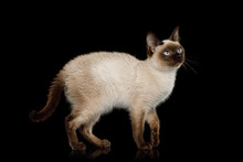 Scyth Toy Bob, The Most Smallest Cat Standing On Isolated Black Background, 8 Month Old