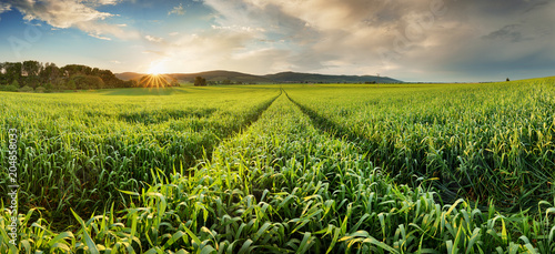 Fotobehang Cultuur Panorama of green wheat field at sunset with sun