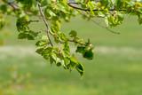 Fototapeta Kwiaty - Wiosenna zieleń