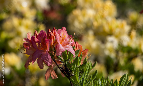 Foto op Canvas Azalea Blooming Rhododendron Azalea close-up. Beautyful azalea flower. Red.
