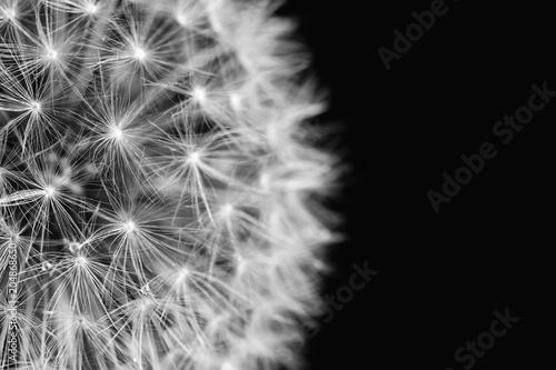 Fototapeta Fluffy white dandelion details in black and white on dark background. Closeup, selective focus obraz na płótnie