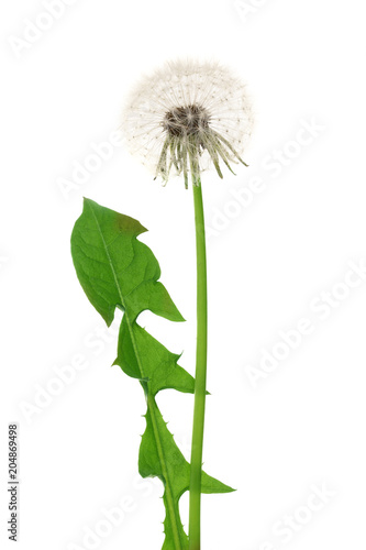 Fotografie, Obraz  Dandelion flower or Taraxacum Officinale with leaves isolated on white backgroun
