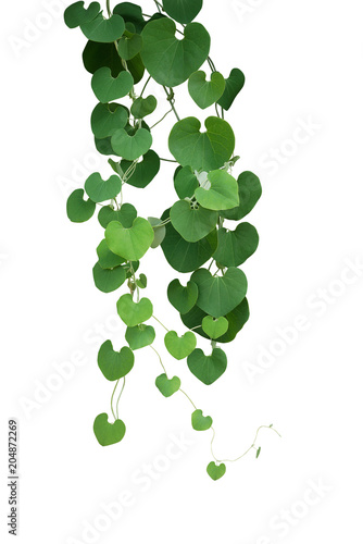 Heart shaped green leaf vines of Gaping Dutchman's Pipe (Aristolochia ringens) the tropical ornamental liana plant bush hanging isolated on white background, clipping path included.