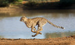 canvas print picture - Cheetah running, (Acinonyx jubatus), South Africa