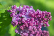 Branches of a lushly blossoming lilac lilac on a sunny day in the garden. Selective soft focus.