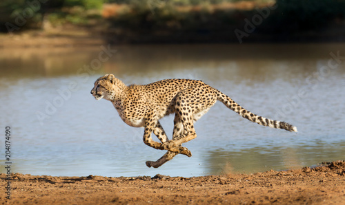 Vászonkép Cheetah running, (Acinonyx jubatus), South Africa