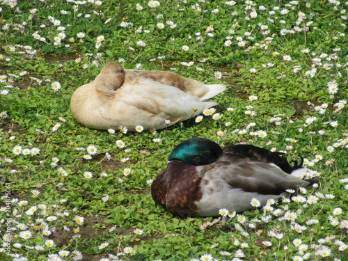 Two mallard ducks sleeping Poster