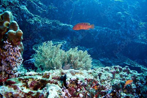 Tuinposter Onder water Coral Grouper