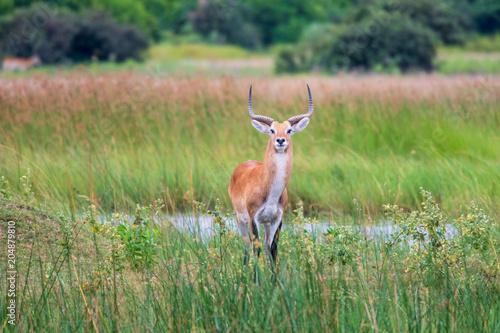 Staande foto Antilope running antelope Waterbuck (Kobus ellipsiprymnus) in the african savannah namibia kruger park botswana masai mara