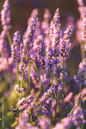 Foto op Plexiglas Lavendel Fleurs de Lavande, Valensole, Provence, France