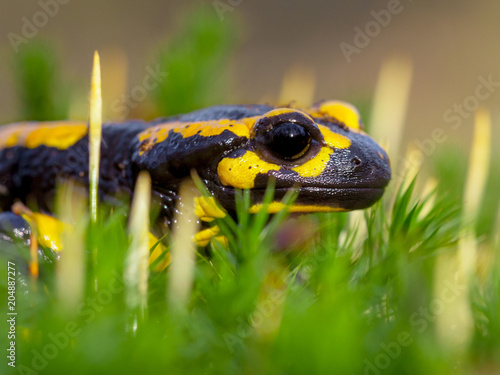 Poster Sideview of Fire salamander on moss