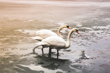 Two Beautiful White Swans Are Standing On The Ice Near The Water At Sunset