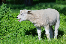 White Lamb Bleating And Calling Mother In Meadow