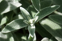 Stachys Byzantina Silver Leaf Plant