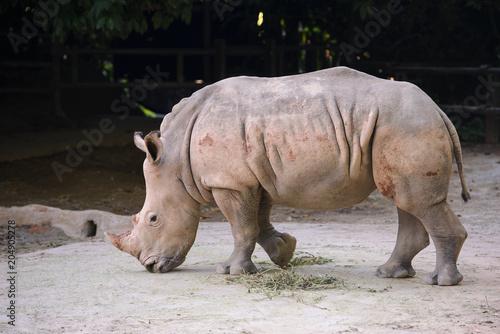 Poster Neushoorn African white rhino showing off her beautiful horn