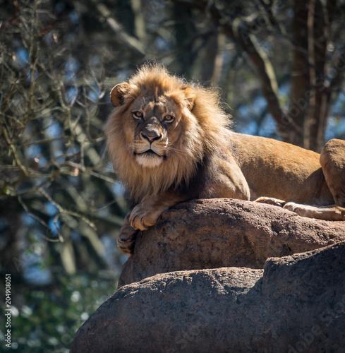 Fotobehang Leeuw Lion Poses