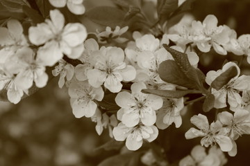 Obraz na Szkle Vintage Flowers of cherries. Images in sepia tones.