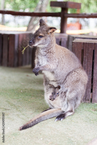 Staande foto Kangoeroe Wallaby small kangaroo in the garden
