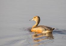 Lesser Whistling Duck ( Dendro...