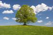 canvas print picture - Perfekte Linde als Einzelbaum im Frühling