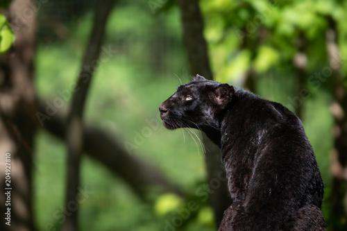 In de dag Panter Black Panther Animal