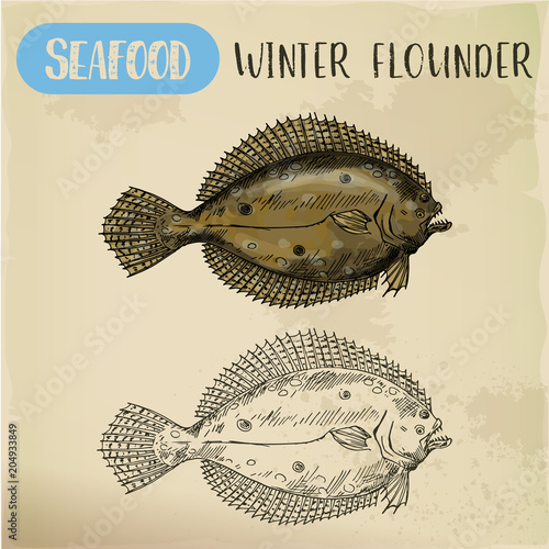 Photographie Winter flounder side view sketch for sign