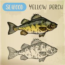 European Yellow Perch Sketch. Fish, Seafood
