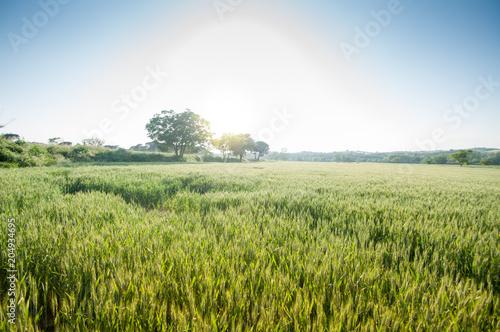 Fotografie, Obraz  Campo de cebada
