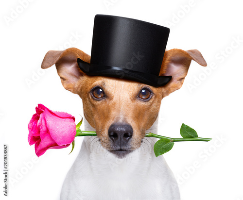Foto op Plexiglas Crazy dog valentines dog with a rose